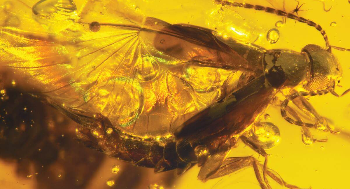 41 million year old amber with a pair of flies having sex